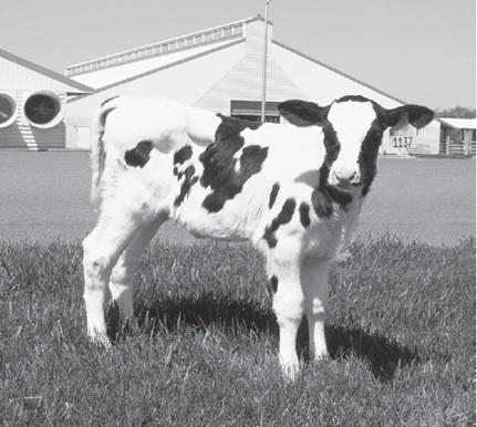 پاورپوینت بررسی غذا دادن روزانه گوساله