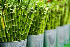 پاورپوینت بررسی تثبیت و تورم خاک رس توسط گیاه بامبو